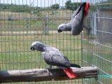 الببغاوات الرمادية الأفريقية الجميلة جاهزة للمنزل الجديد
