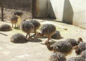 طائر النعام أعلى جودة بيض النعام للبيع