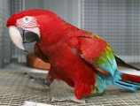 Adorable Scarlet Macaw Parrots available