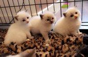 Super cute white Ragdoll kittens for sale