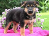 Outstanding German shepherd puppies for sale
