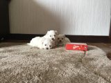 Maltese Puppies Puppies For Sale