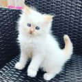Good looking Persian kittens available