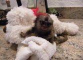 Gorgeous marmoset monkeys for new homes