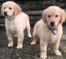 F1 generation golden retriever Puppies For Sale.