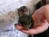Lovely Marmoset Monkeys For Sale.