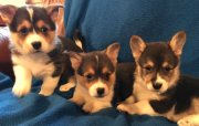 pembroke welsh corgi puppies for sale