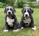Healthy American Pitbull Puppies For Sale