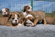 Healthy English Bulldog Puppies For Sale