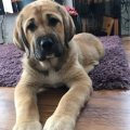 Lovely Bullmastiff Puppies For Sale
