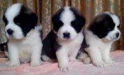 AKC Saint Bernard puppies for sale