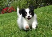 Papillon Puppies for sale
