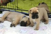 Lovely Mastiff Puppies Up for Sale