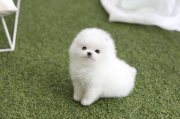 Quality Registered Pomeranian