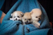 Awesome T-Cup Pomeranian Puppies For Sale