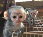 healthy male and female capuchin monkeys for sale