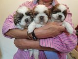 male and female Shih Tzu puppies for sale