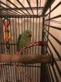 Beautiful Alexandrine Parakeet For Sale