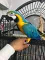 Nice Blue And Gold Macaw Parrot for sale