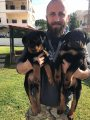 Quality Rottweiler for sale (wasapp +17249132010)