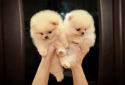 Ourstanding Pom puppies for adoption