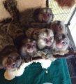 ذكر وقردة marmoset للبيع