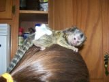 Baby Marmosets Monkeys for free sale