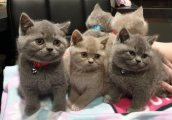 playful and home raise males and females british shorthaired kittens for sale