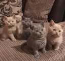 vaccinated males and females healthy british shorthaired kittens for sale