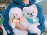 healthy tea cup pomeranian puppies for sale