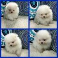 home raise and vaccinated tea cup pomeranian puppies for sale