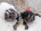 two marmoset monkeys healthy and well trained for sale