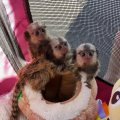 classy marmoset monkeys for sale