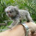 القرود marmoset متاحة الآن