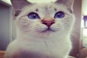 Purebred Lilac Lynx Point Siamese Kitten