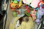 Cute Capuchin Monkey For Adoption