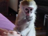 Well healthy and lovely well trained and tamed capuchin monkey