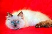 SIBERIAN KITTENS-Color point- all kittens have blue eyes! - Plea