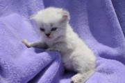 CFA Persian and Himalayan Kittens