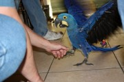 Hyacinth macaw parrot eggs and Hyacinth macaw parrot for sale