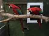Breeding Pair Green Winged Macaws