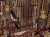 2 Beautiful Cockatiels With Large White Cage