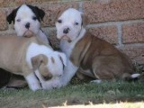 Healthy French Bulldog puppies