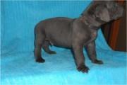 Stunning Great Dane Puppies