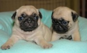 Healthy Pug Puppies Ready For A New Home.