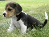 Beagle from  with all papers