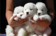 Charming Samoyed Pups