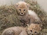كذلك ترويض الفهد، جاكوار، النمر والأسد الأشبال للبيع،