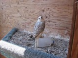 falcon birds for sale
